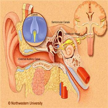 Η μεταφορά του ήχου στον εγκέφαλο